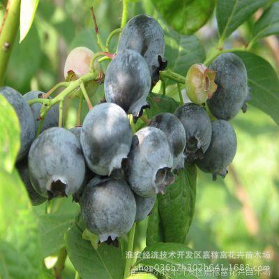 优质嫁接果树苗 庭院可盆栽蓝莓小苗 兔眼蓝莓树苗 品种全 基地苗