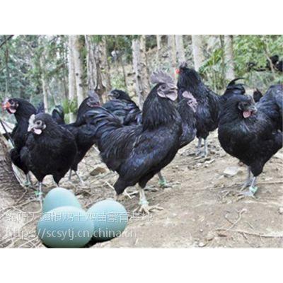 青脚土鸡苗,鸡苗统货,空运发货,鸡,统货,空运发货