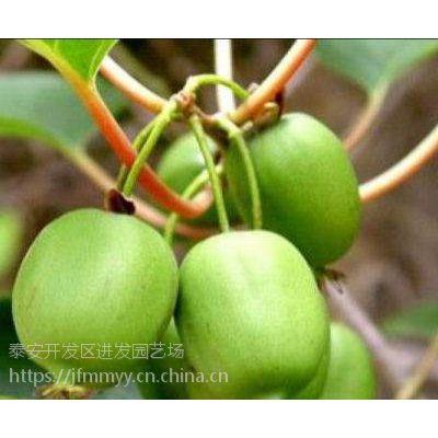 供应嫁接核桃树 香玲核桃树 8518核桃树