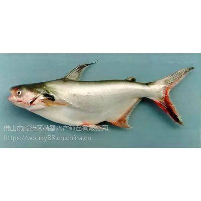 供应越南水晶巴沙鱼苗