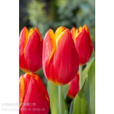 荷兰进口郁金香种球批发