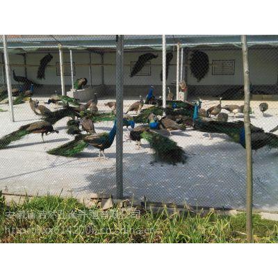 专业化孔雀养殖企业常年供应优质孔雀