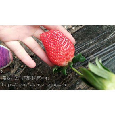 章姬草莓成熟了 新品搞活动了 甜宝香甜奶香有机草莓苗所结