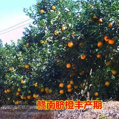 正宗赣南脐橙苗 纽荷尔脐橙树苗 根系发达抗旱能力强兴国鲜橙子苗