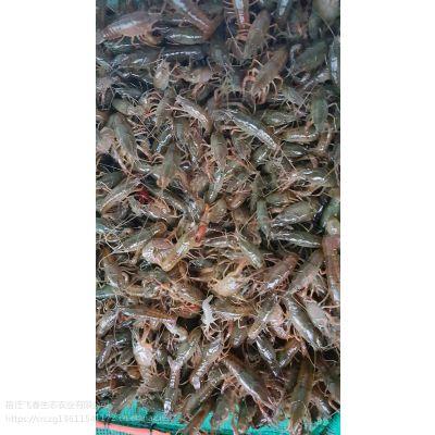 专供龙虾种苗 现在龙虾苗什么价格 小龙虾种苗养殖基地