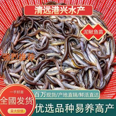 台湾泥鳅苗【港兴水产泥鳅养殖清远分场】