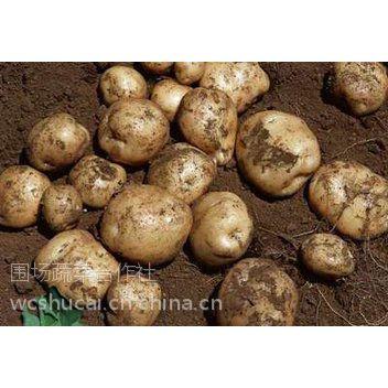 土豆代收产地直销围场洋芋销售155-1236-1144