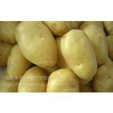 供应河北时丰农业科技开发有限公司时丰牌优质蔬菜土豆种子高产土豆二号B13