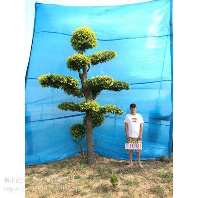 城市园林绿化树种造型金叶榆/景观造型树/大型风景树/树的造型设计/树造型