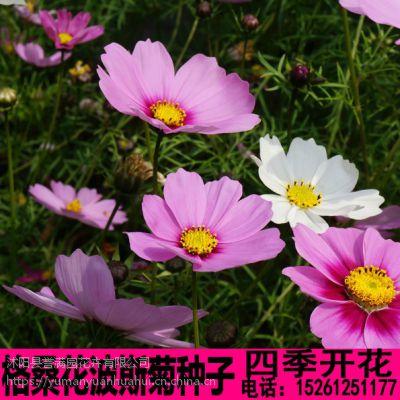 波斯菊种子四季种易活开花室外庭院绿化阳台花卉盆栽绿植格桑花