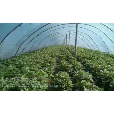 脱毒红薯苗基地-西瓜红红薯苗价格