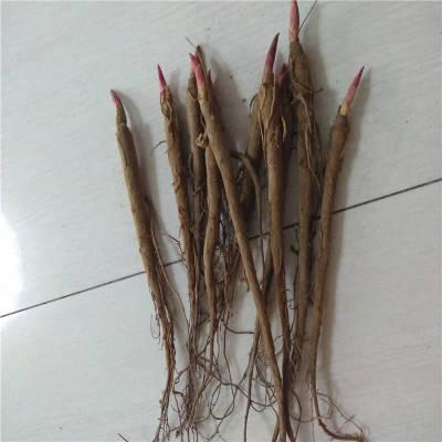 赤芍苗 赤芍种子一亩地能育苗多少棵苗