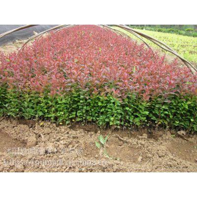 红叶小檗种植基地 高50公分红叶小檗价格便宜了