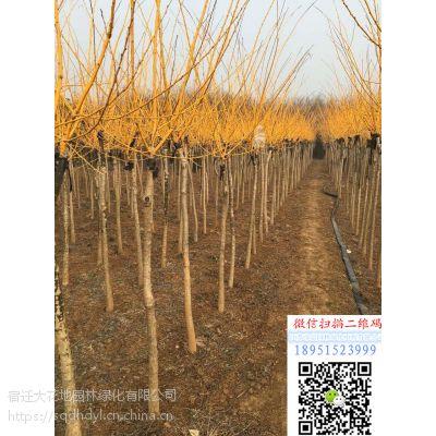 地径3公分黄金槐价格多少钱一棵报价28元风景树黄金槐小苗基地
