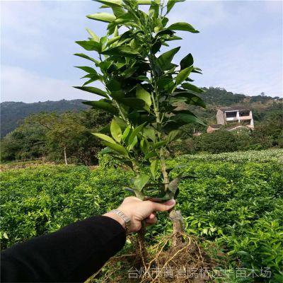 1年新品种嫁接柑桔苗红美人爱媛28号桔子苗红美人柑橘苗果树苗木