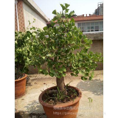 批发零售盆栽、地栽绿植,观赏性老桩银杏盆景