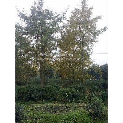 成都基地直销直径18-20公分精品银杏树,工程苗木银杏树,银杏批发价格,银杏行道树规格