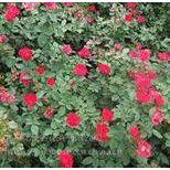 盆栽月季,大花月季,爬藤月季,月季树出售,藤本月季,各种颜色月季花
