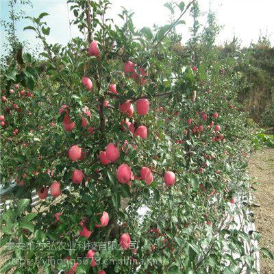 苹果苗品种 王林苹果苗价格
