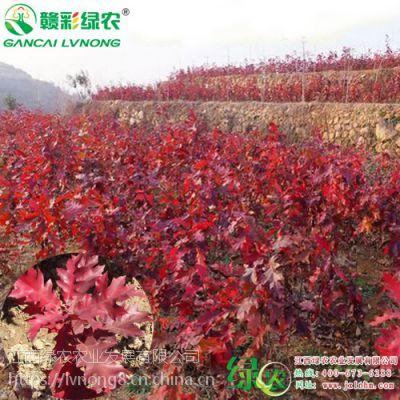 绿化树苗 欧洲红栎 北美红栎 彩叶耐寒树 2018年欧洲红栎新报价 工程树