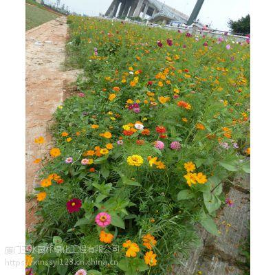 成都园林绿化花种怎么卖硫华菊价格