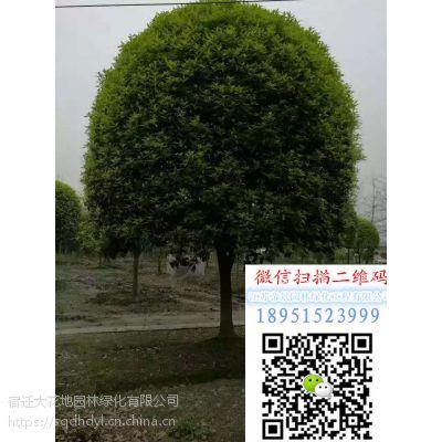 江苏地区地径8公分桂花树价格报价135元2公分桂花小苗多少钱一棵