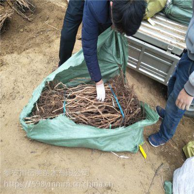10月成熟葡萄苗品种 0.5公分摩尔多瓦葡萄苗