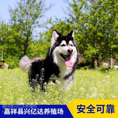 嘉祥县兴亿达小阿拉斯加幼犬养殖场直销