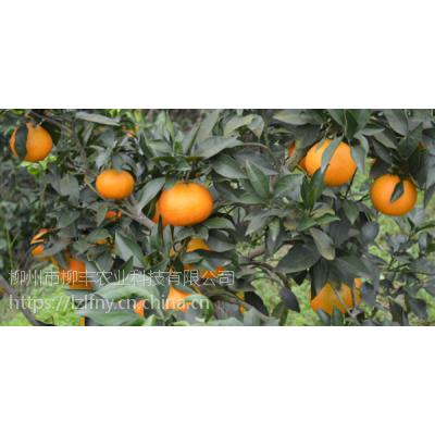 梅州哪个地方批发皇帝柑树苗好?