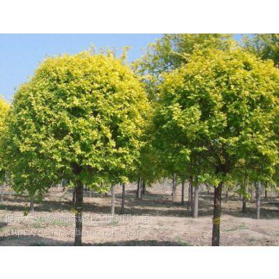 保定大汉绿洲常年供应11公分金叶榆