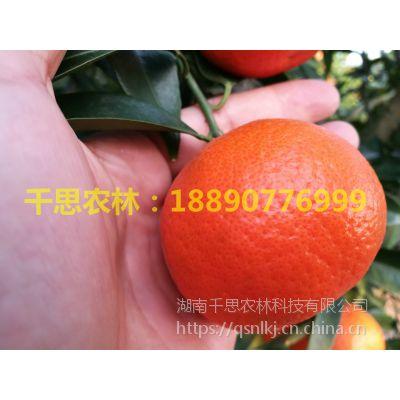 湖南柑橘新优品种基地直供正宗世纪红柑桔果苗高度70cm