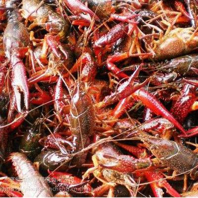 6-8钱鲜活小龙虾 鲜活水产 13-15只/斤 产于江苏 食用小龙虾