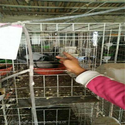 大号加粗3层12位4层16位鸽子笼子 肉鸽笼 鸽子笼配件找河北利港丝网