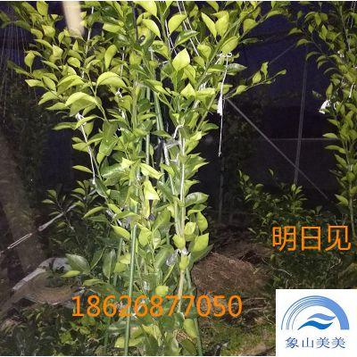橘子苗阿思蜜(阿斯蜜),柑桔新品种,晚熟杂柑,发展前景好