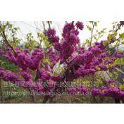 德阳紫荆树苗优惠供应 优质紫荆树苗存活率高