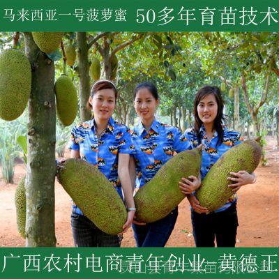 广西苗圃基地直销马来西亚一号菠萝蜜果树 大量批发菠萝蜜果树苗