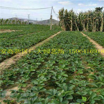 批发草莓苗 供应大量优质高产草莓苗