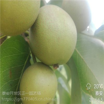 嫁接梨树苗价格多少钱