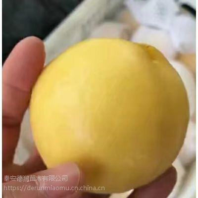仙岛20油桃苗价格 仙岛20油桃苗品种介绍