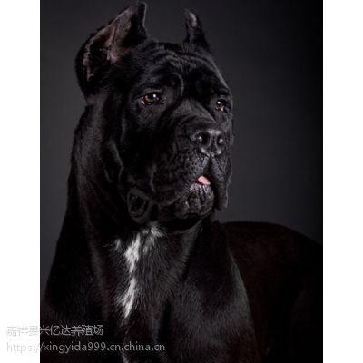 嘉祥兴亿达纯种卡斯罗犬护卫犬养殖场报价