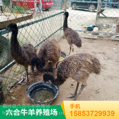 山东济宁 出售优质特种成年鸵鸟/优质小鸵鸟 华旺特种养殖场价格