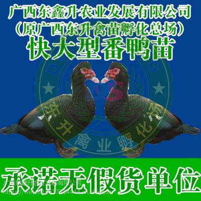 黔南州贵定县-洛阳土鸡苗养殖-新疆鸭苗-福建鸡苗批发