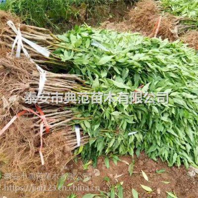 中秋节成熟桃树品种 桃树苗价格