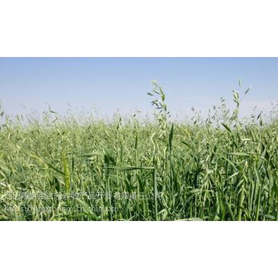 内蒙百吉乐锡盟乌拉盖原生态高品质燕麦草羊草饲料作物供应自有基地厂家直销