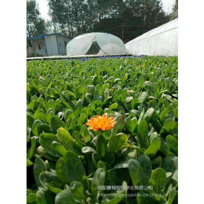 金盏菊绿化草花 大量品种多样草花供应