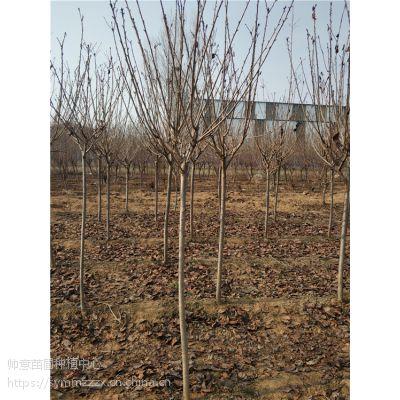 山东2公分樱花树报价表2公分樱花树什么价格