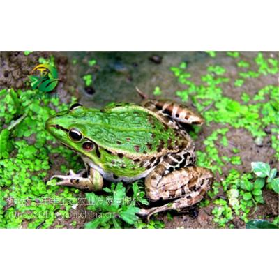 黑斑蛙养殖成活率低的主要原因