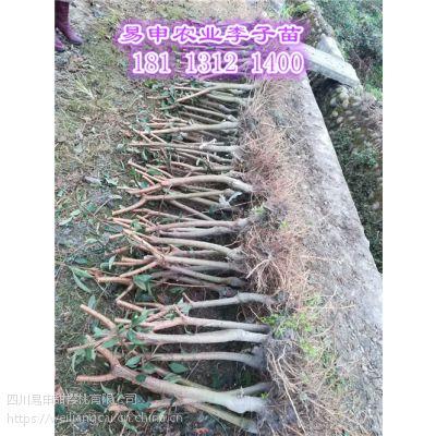 重庆哪里有李子树苗,重庆李子树苗出售价格