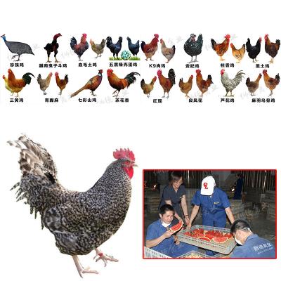 鸡苗怎么才能能赚钱 土鸡苗孵化厂价格 鸡苗孵化厂地址 土鸡苗市场位置在哪里