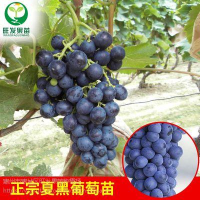正宗夏黑葡萄树苗耐寒 嫁接全国可种爬藤果树苗品种正宗优质